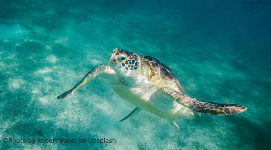 Images : une grosse tortue verte protégée, nouvelle victime du plastique en Thaïlande