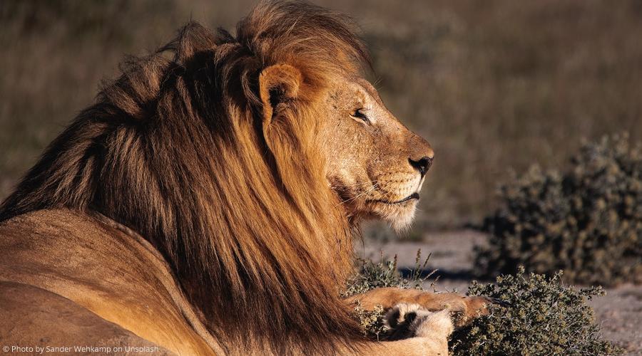 Afrique du Sud : des braconniers, sur la piste de rhinocéros, ont été dévorés par des lions