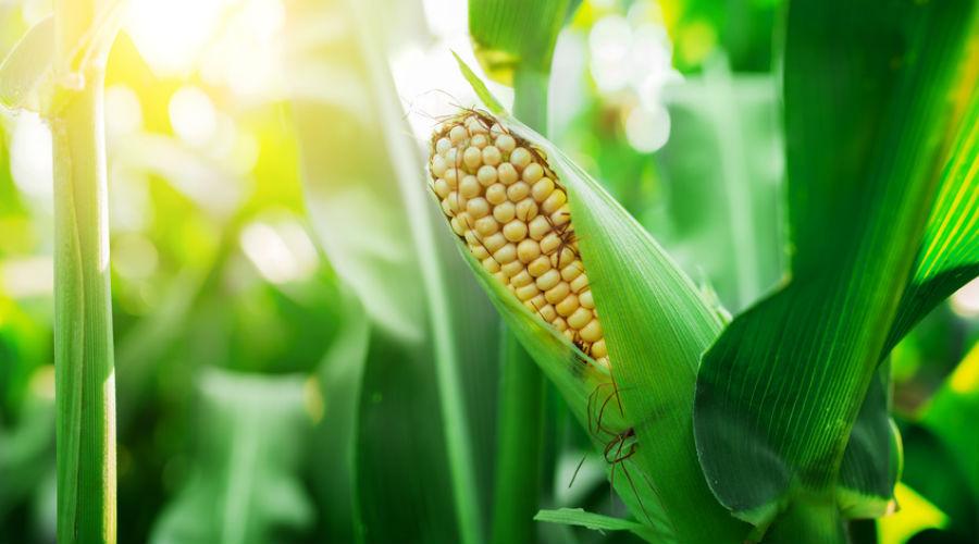 Les OGM causent-ils des cancers ? L'heure du verdict a sonné