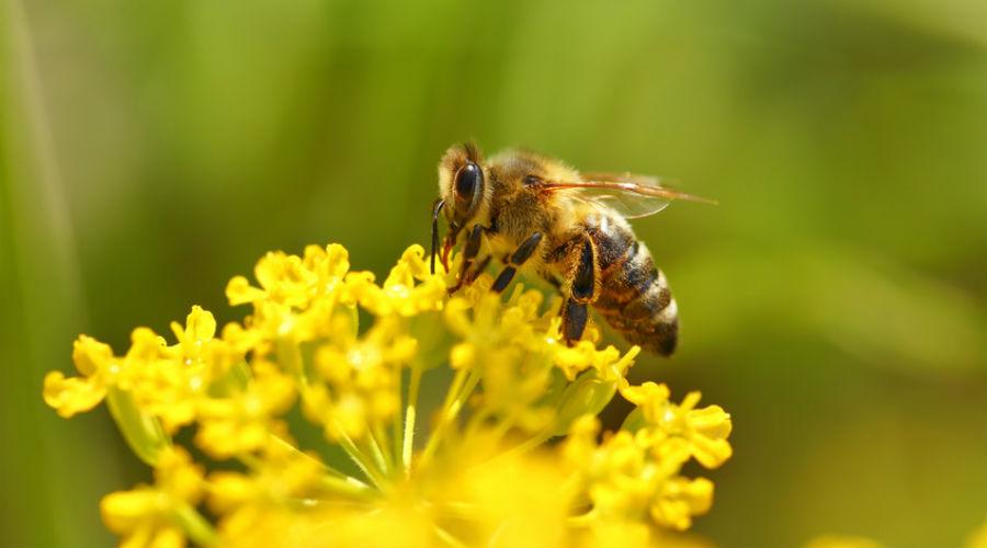 abeille qui butine une fleur jaune