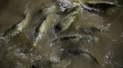 poissons rivière