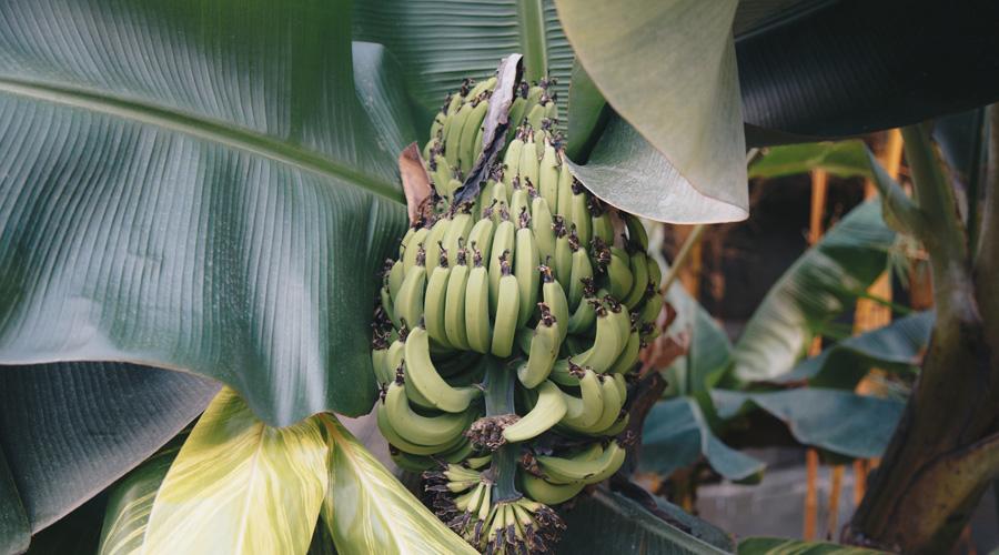 Banane chlordécone