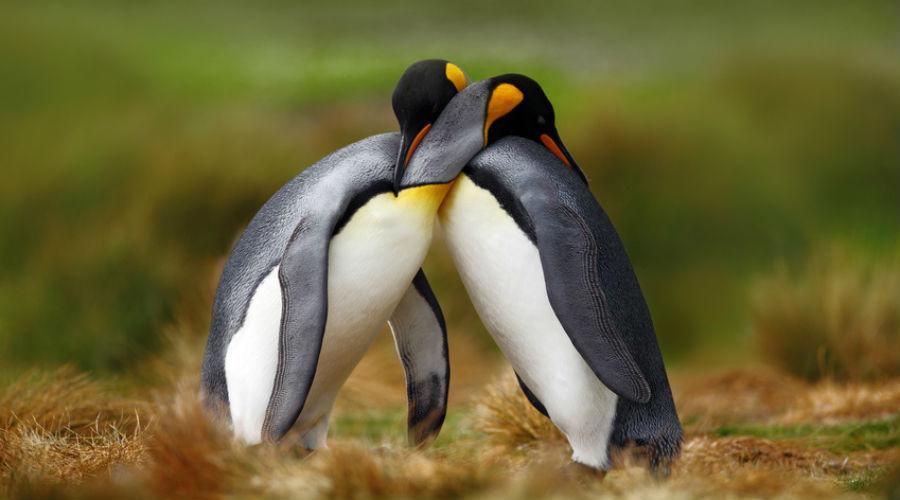 Un couple de pingouins mâles couvent leur petit et l'élèvent ensemble
