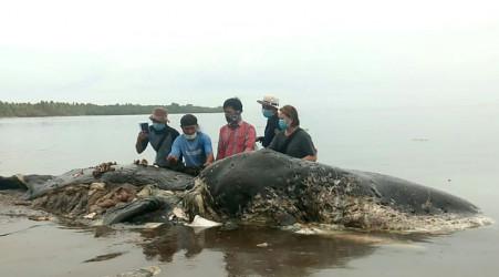 Un cachalot retrouvé mort avec 6 kg de plastique dans le ventre en Indonésie
