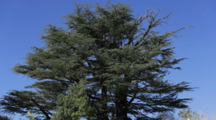 Au pays du cèdre, le réchauffement climatique menace l'emblème du Liban
