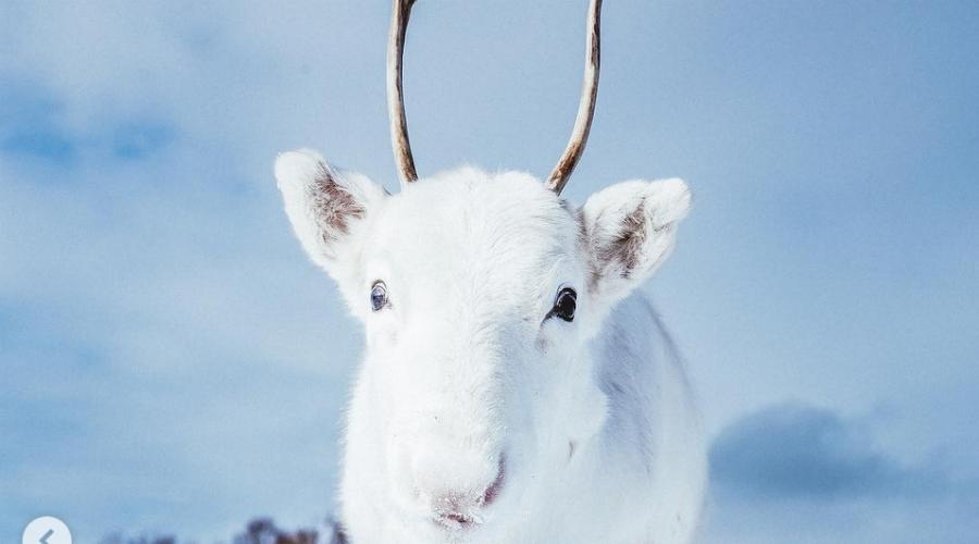 Un photographe immortalise sa rencontre avec un bébé renne blanc (images)