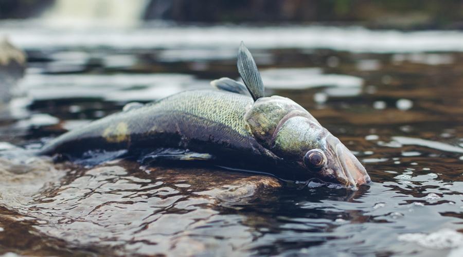 poisson mort sud-est australie