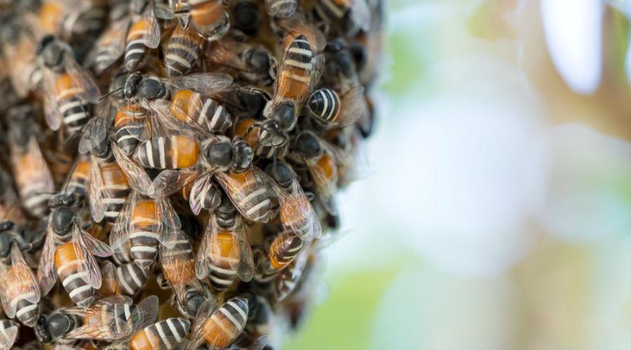 """Vidéo : la """"ola"""" des abeilles pour faire fuir les prédateurs"""