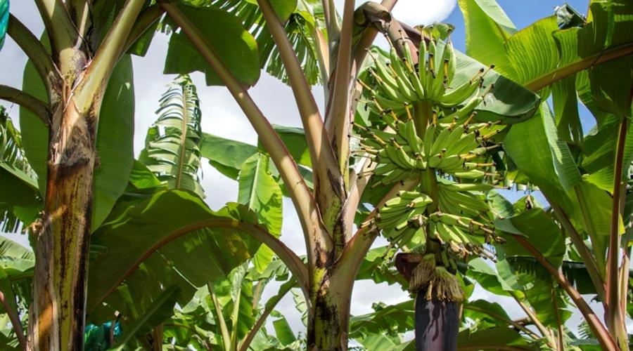 Chlordécone dans les bananeraies