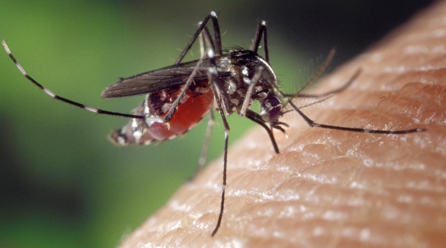Les femelles moustiques qui transmettent la dengue et le virus Zika repèrent les humains grâce à un récepteur sentant l'acide lactique