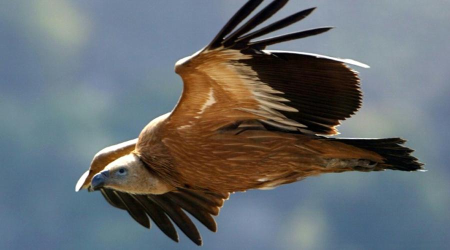 Empoisonnement mortel d'une grande partie des rares vautours du Golan
