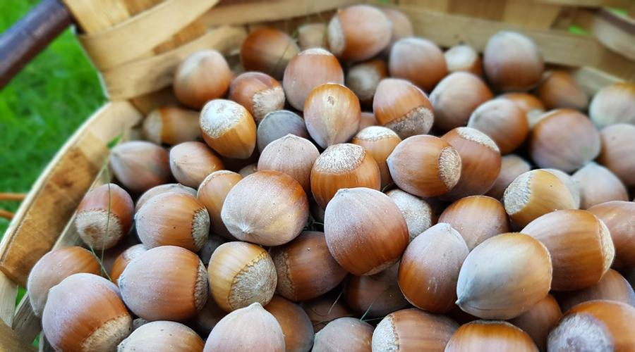 Exploitation de migrants et d'enfants : ce que cache la récolte des noisettes pour Ferrero et Nestlé