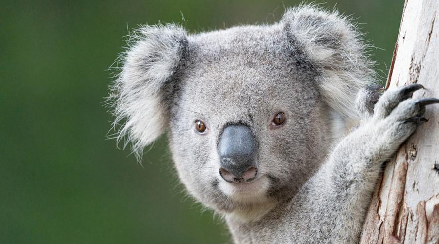 Les koalas disparaissent à grande vitesse