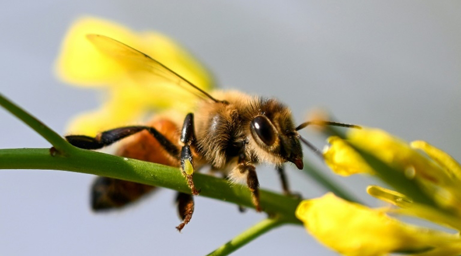 Le déclin des abeilles menace la sécurité alimentaire mondiale