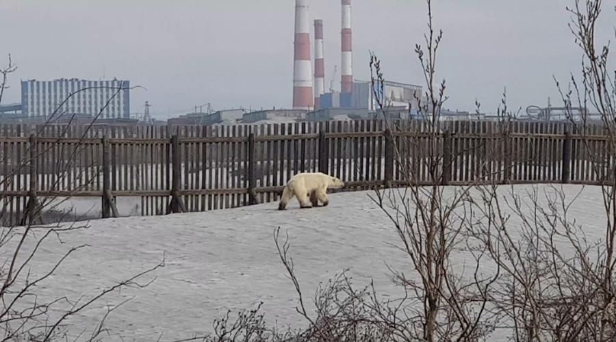 Russie : un ours blanc affamé repéré à plus de 800 km de son habitat