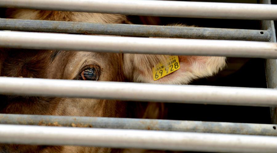 Vaches à hublot, poulets difformes... L214 dénonce les conditions de traitement des animaux dans un centre de recherche