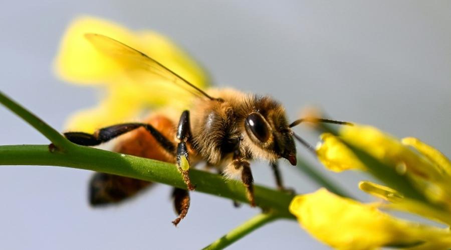 Les abeilles produisent plus de miel quand elles butinent bio