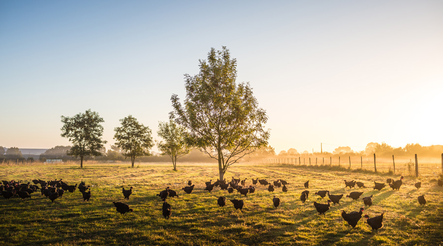 Le Picoreur, des engagements pour des volailles BIO de qualité