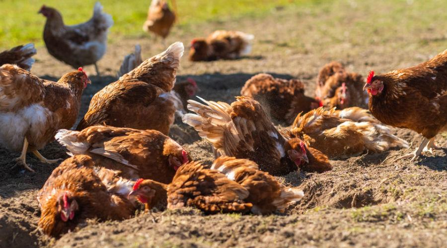 Des centaines de poules et des milliers de poissons morts à cause de la canicule