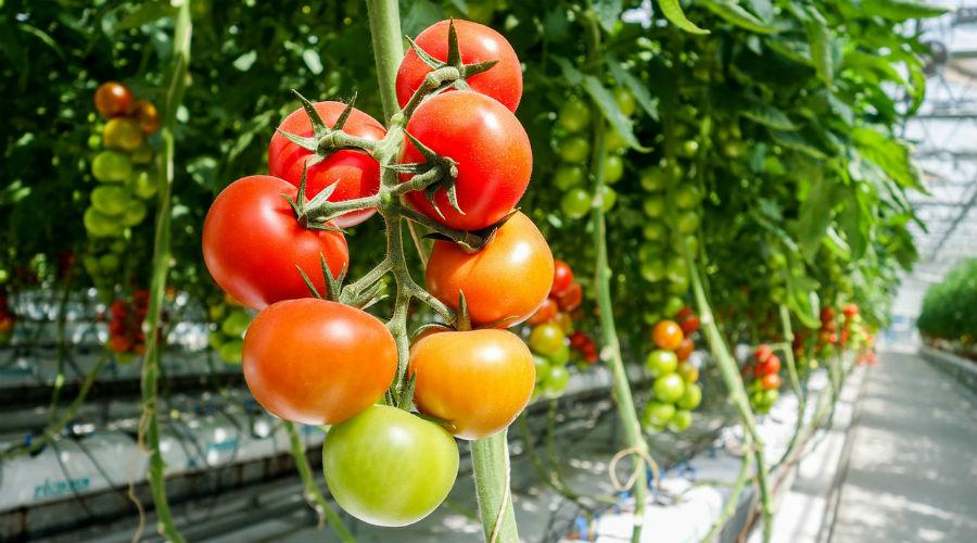 Serres chauffées en agriculture bio : le gouvernement desserre la vis