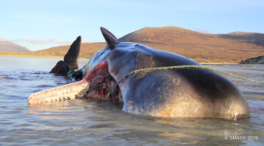 Un cachalot échoué sur une plage avec 100 kilos de déchets dans le ventre