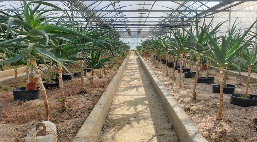 L'aloe arborescens, une plante anti-cancer ?