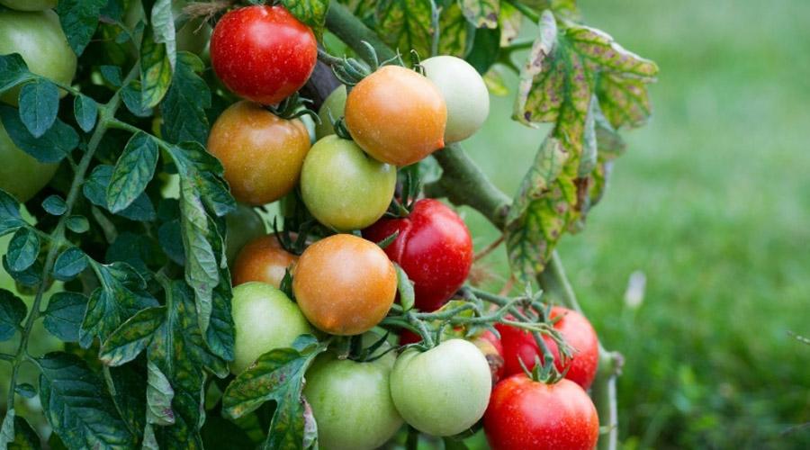virus de la tomate