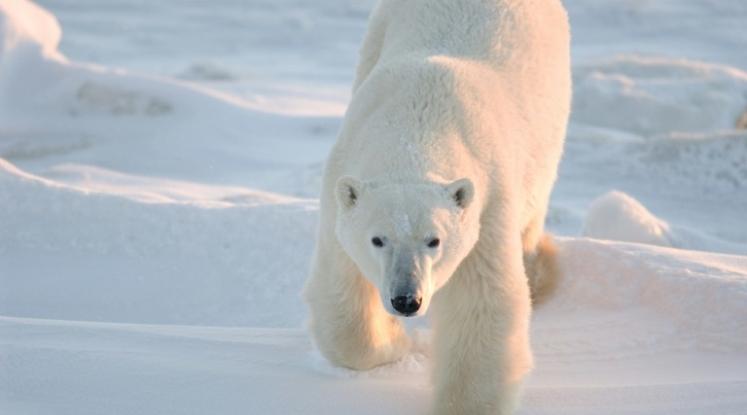 Réchauffement climatique : vers l'extinction des ours polaires d'ici 2 100